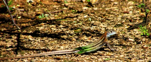 Lagartija verde - Fotografía: Martín Lepez